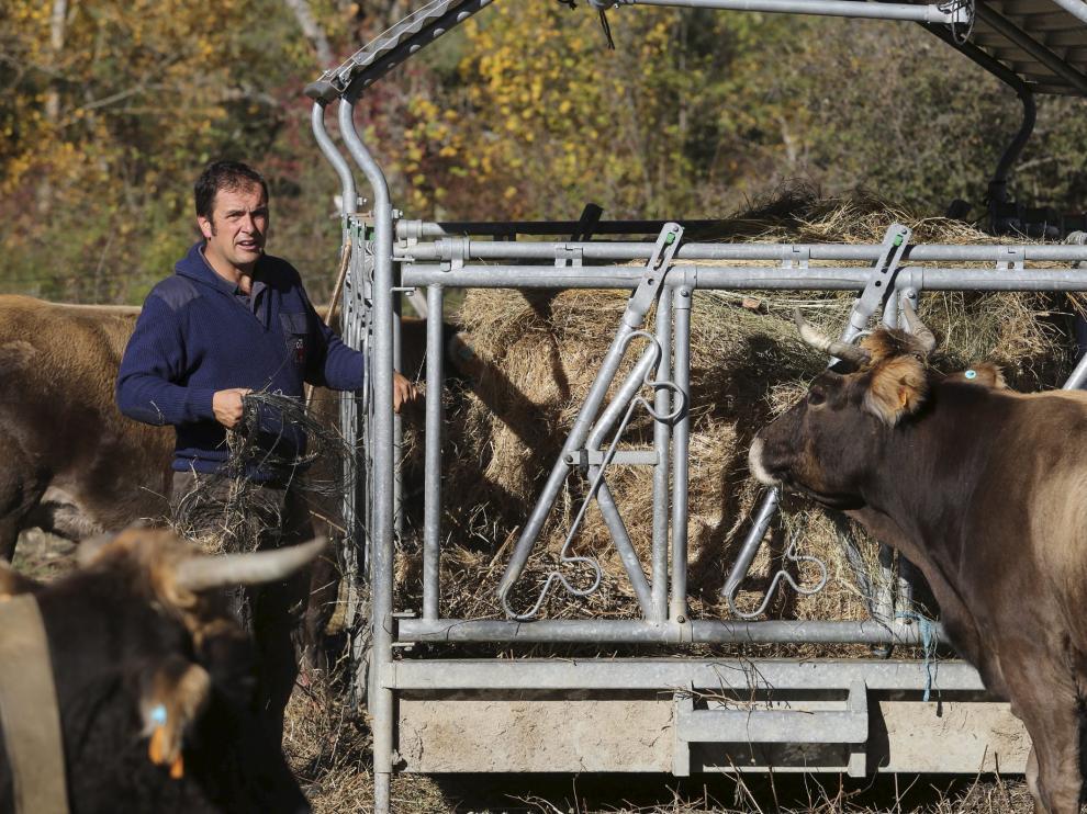 Alimentación suplementaria para las vacas. La sequía ha dejado los pastos secos, e incluso en la montaña es necesario dar una aportación suplementaria de forraje a las reses. En la fotografía, el ganadero Ramón Solanilla, en su explotación de vacuno de Laspuña.