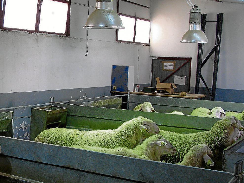 Unos machos son expuestos a la luz en una granja de ovino.