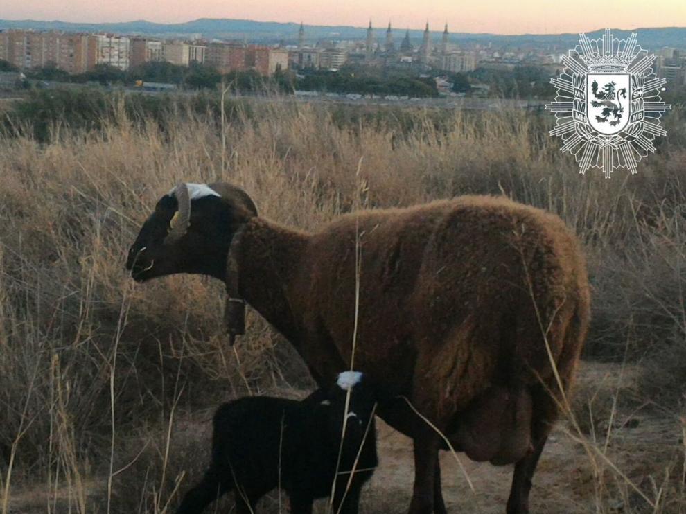 La oveja junto a su cordero recién nacido