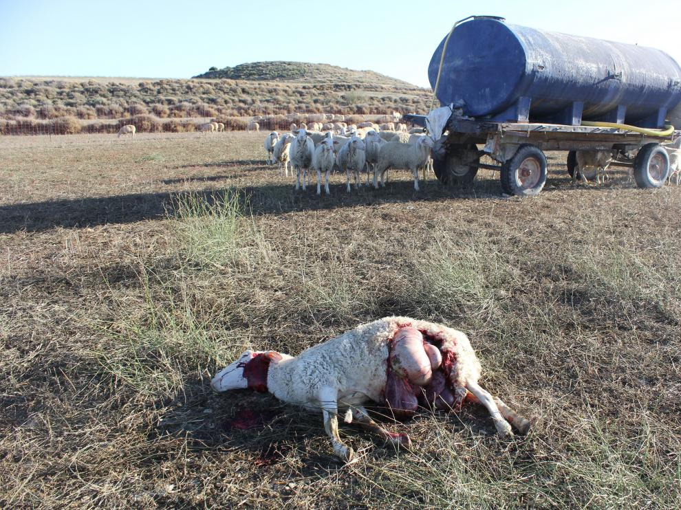 Una de las ovejas muertas por el ataque del lobo en una explotación de Leciñena