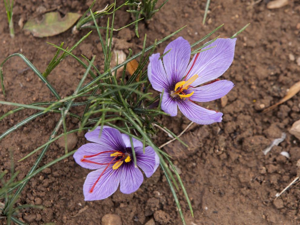 Dos flores del azafrán recién florecidas, en un terreno situado en las afueras de Monreal del Campo.