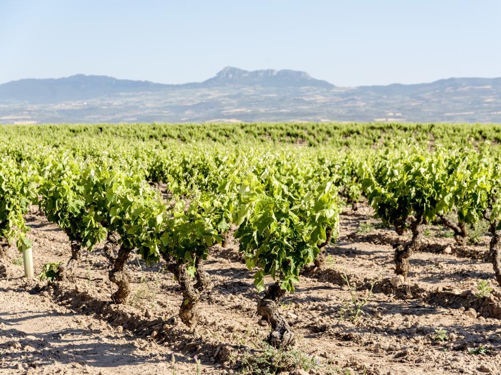 Fotografía de la parcela Alto Cantabria de donde se obtienen las vides para elaborar el vino Conde ValdemarFinca Alto Cantabria.