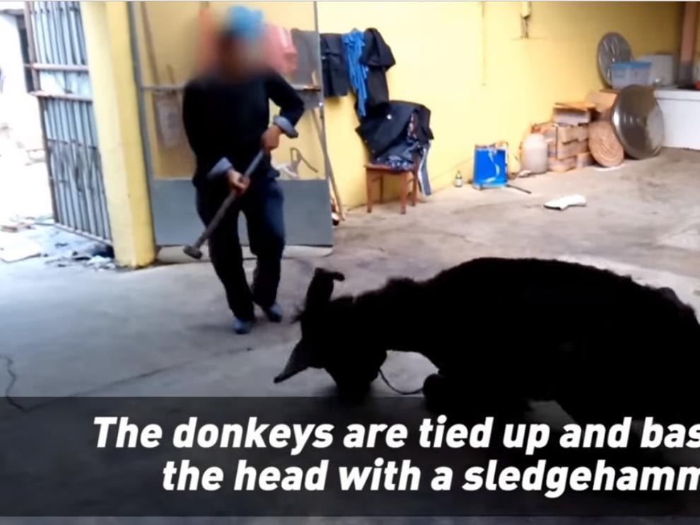 Imagen del vídeo de PETA en el que un hombre golpea con un martillo a un burro.
