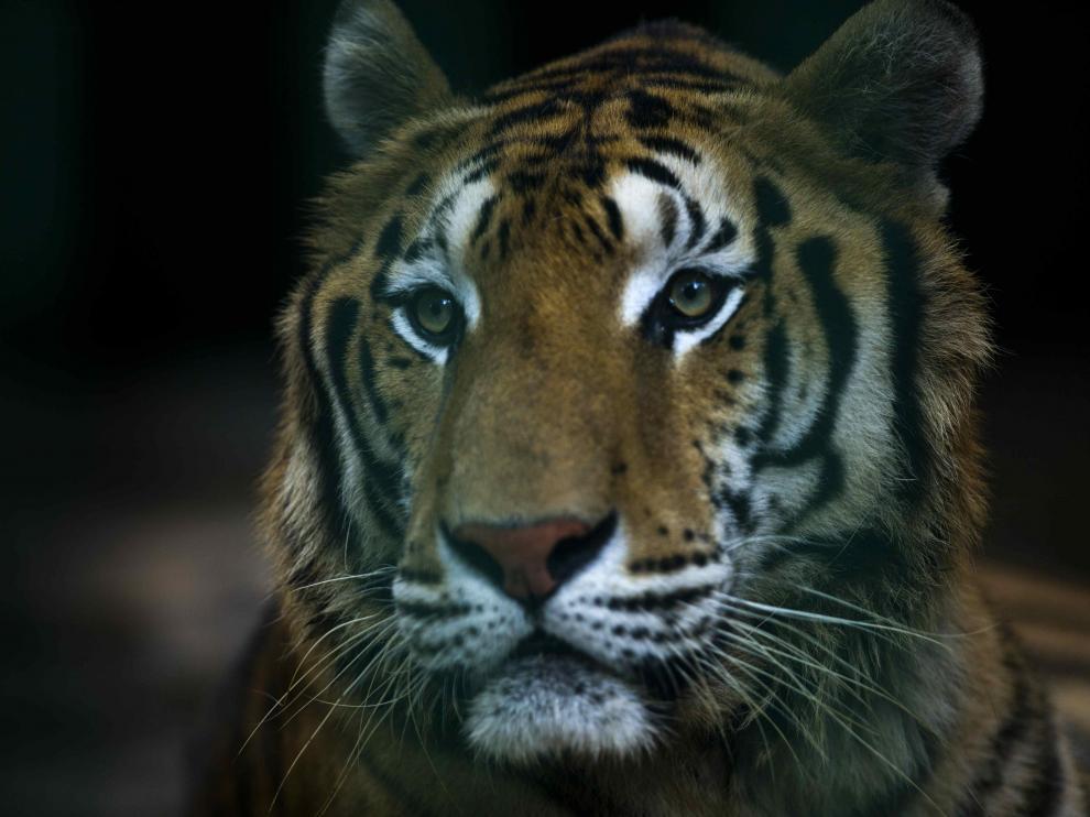 El tigre había escapado del circo Bormann Moreno.