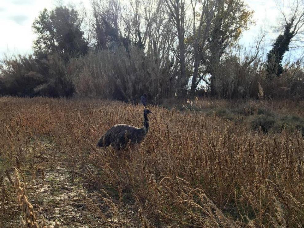 El emu huyó por los campos cercanos a la granja escuela de donde fue robado.