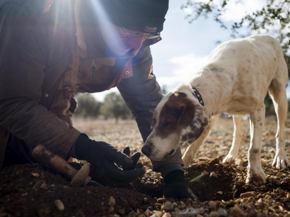 Ricardo, guía de La Trufa Negra, extrae un ejemplar de 'Tuber melanosporum' localizado por el perro Bosque.
