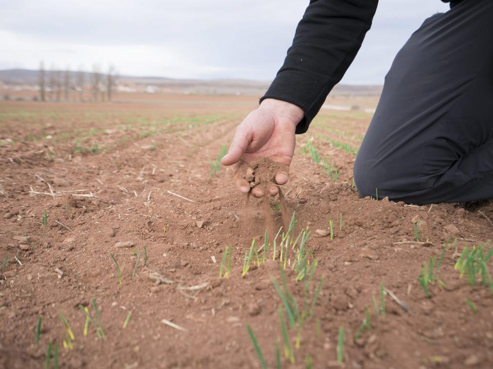 Cultivo de cereal afectado por la sequía en la provincia de Teruel.
