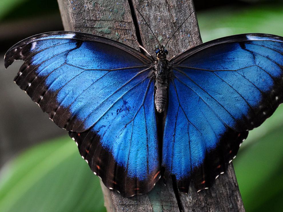 ...El color de la naturaleza... - Página 2 _1024pxbluemorpho_d57d3b13