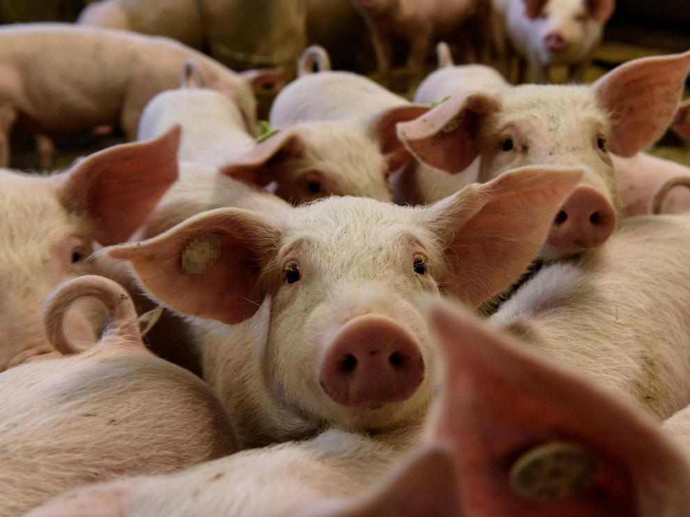 La carne de porcino se coloca segunda en la lista de productos con más mercado exterior.