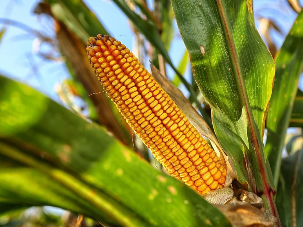 En la primera cosecha de maíz de 2017 se plantaron en Aragón 28.112 hectáreas genéticamente modificadas.
