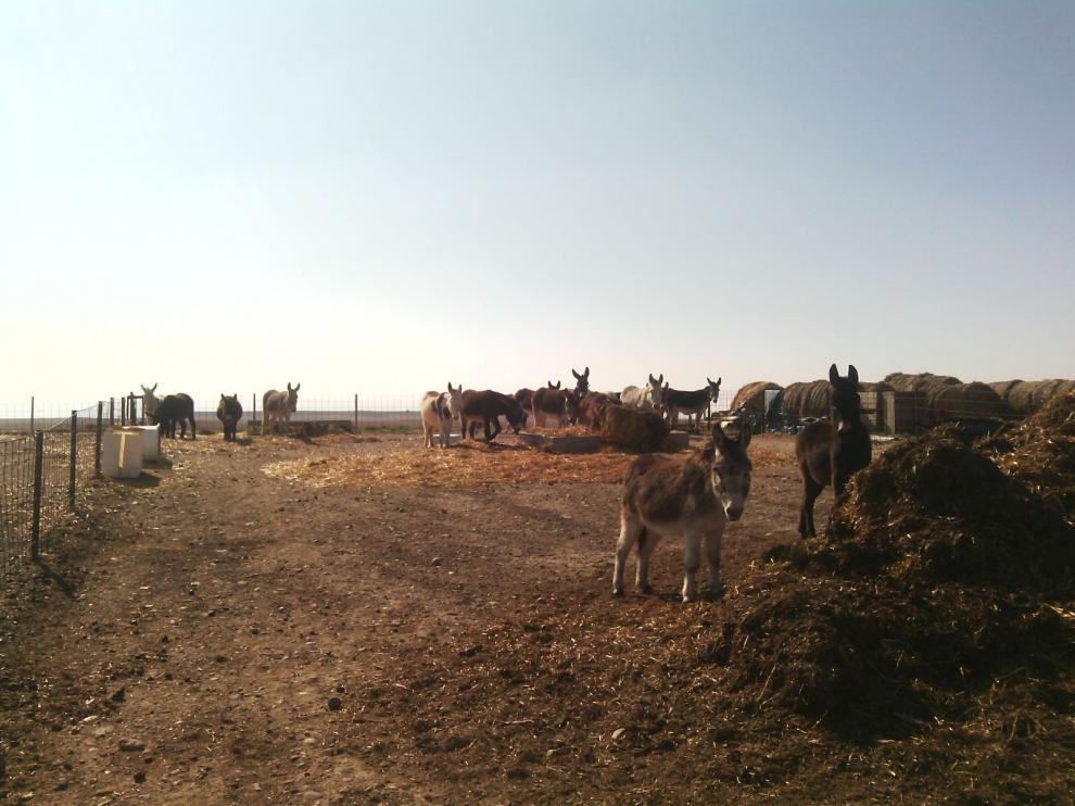 Burros de la granja El Capricho