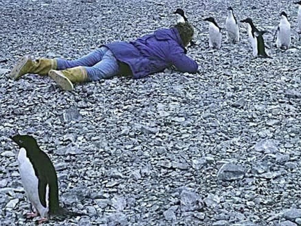 Pingüinos adelaida jóvenes, en la Antártida.
