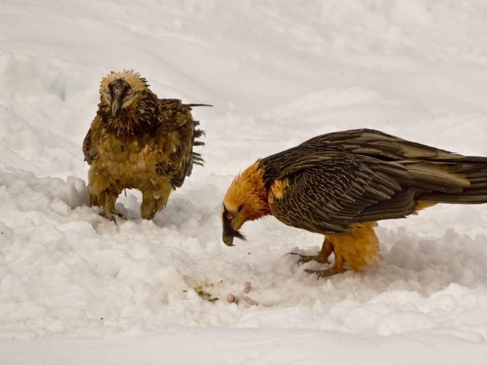 Dos ejemplares de quebrantahuesos entre la nieve.