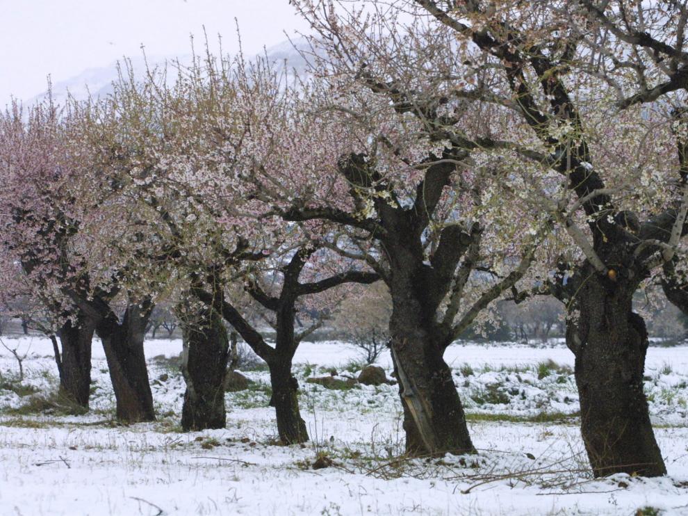Almendros aragoneses rodeados de nieve.