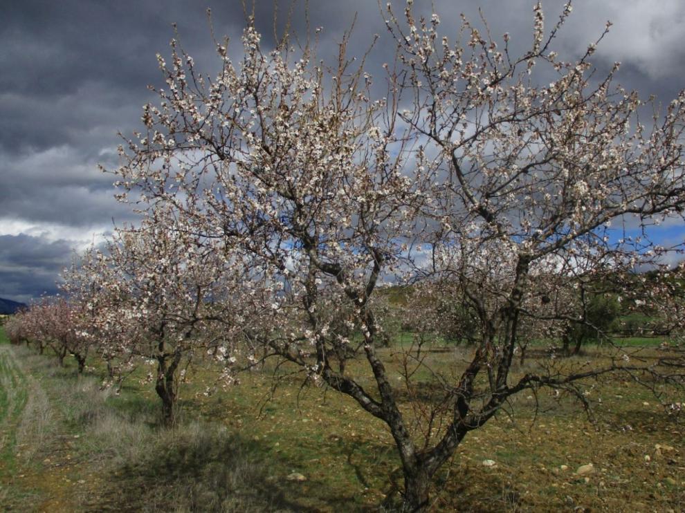 Almendros en flor en los campos de Biscarrués.