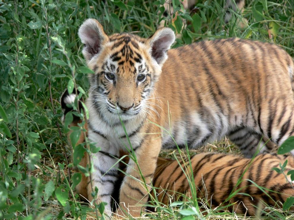 De las nueve especies de tigre que habitaban en el siglo XX, en la actualidad, sobreviven seis.