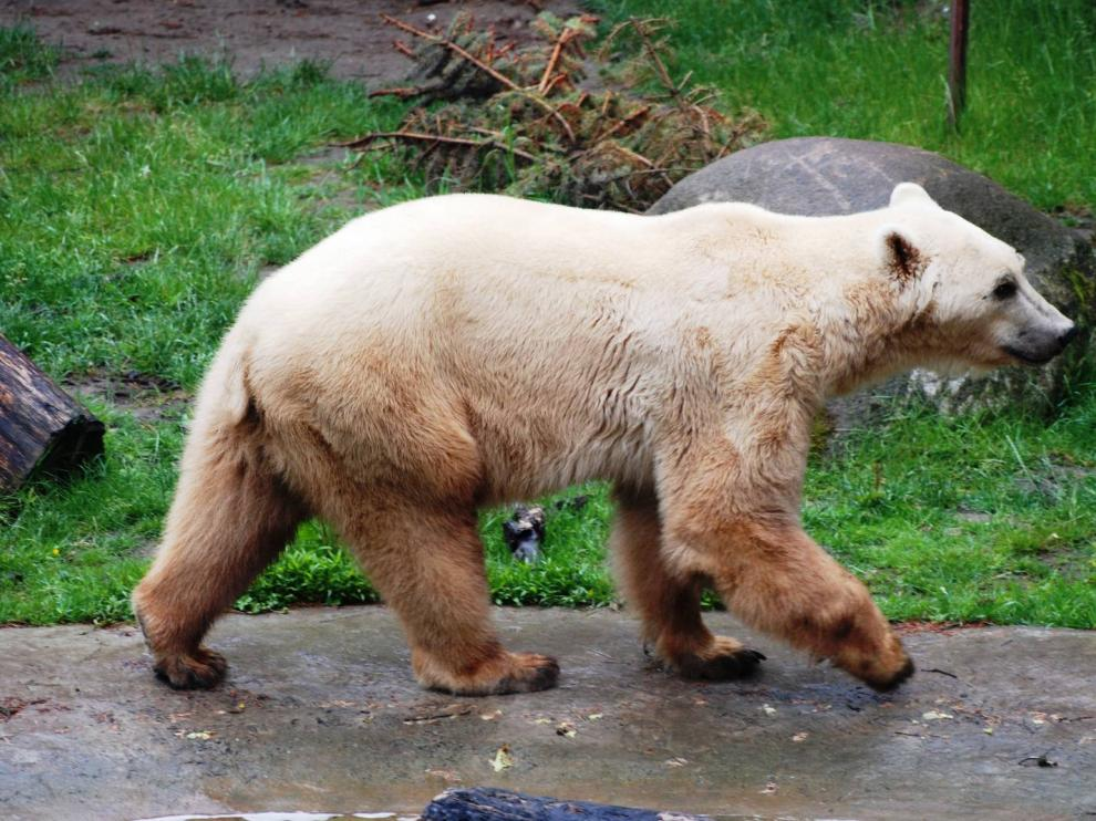 El grolar es el fruto del cruce entre un oso pardo y un oso polar.