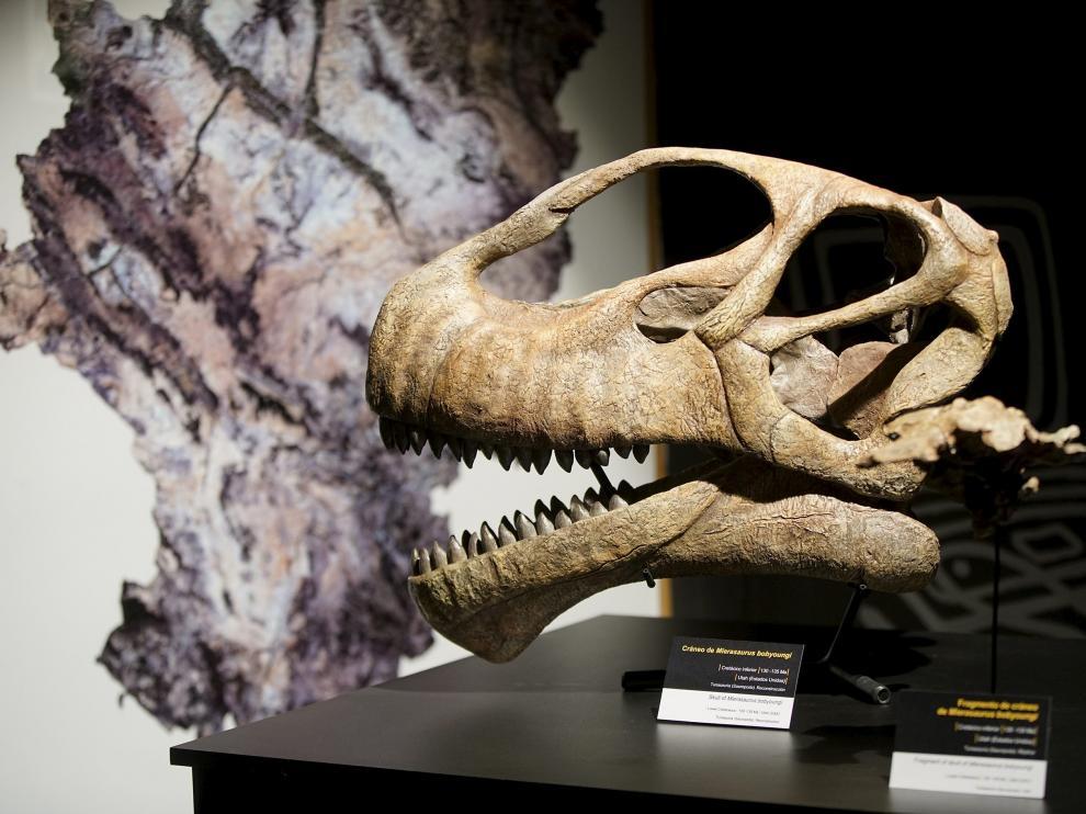 Fósil reconstruido por la Fundación. Los visitantes podrán ver durante los próximos meses en las vitrinas de Dinópolis el cráneo del pariente americano del Turiasaurus, reconstruido por la Fundación. Entre sus diferencias, destaca el gigantismo del turolense, con un esqueleto que mide 25 metros frente a los 12 del descubierto en Utah.