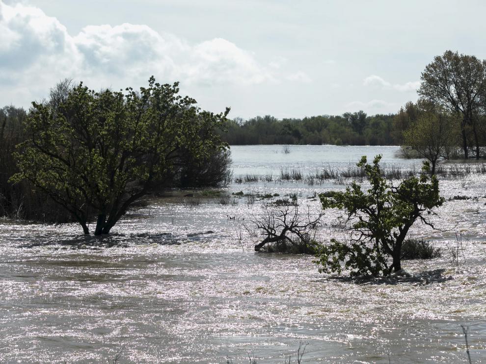 Imagen tomada ayer de la huerta de Novillas cubierta por el agua, en la ribera alta del Ebro.
