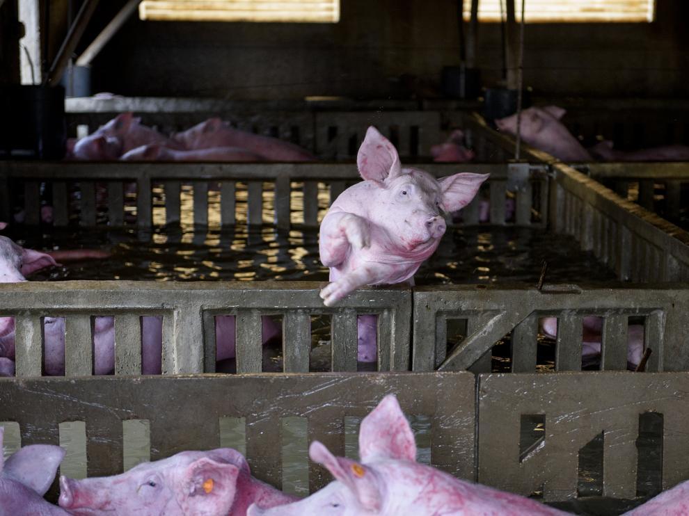 Una granja de Villafranca de Ebro anegada por el agua, con centenares de cerdos dentro.