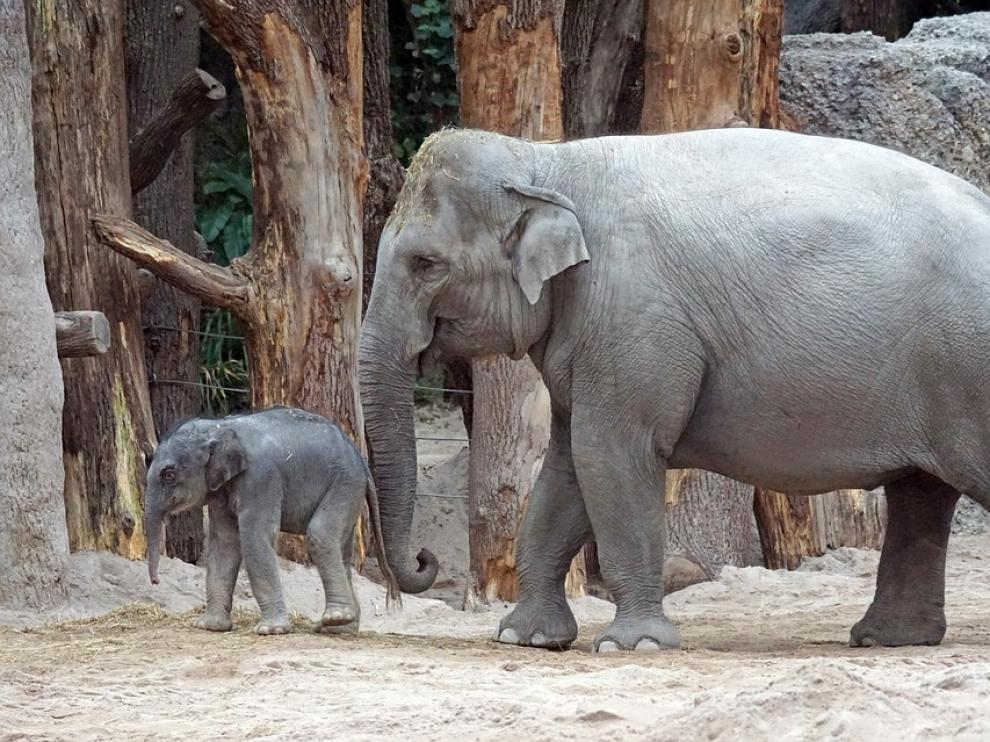 La población de elefantes asiáticos en China ha pasado de los 170 ejemplares en la década de los 90 a los 300.