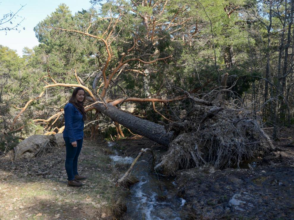 La alcaldesa de Orihuela, junto a un pino derribado por el peso de la nieve.