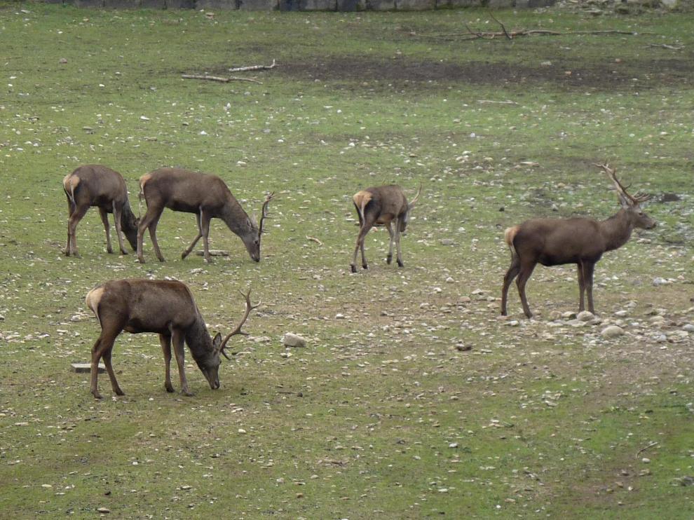 La competencia por las parejas es una característica de muchos animales, desde los ciervos a los pavos reales.