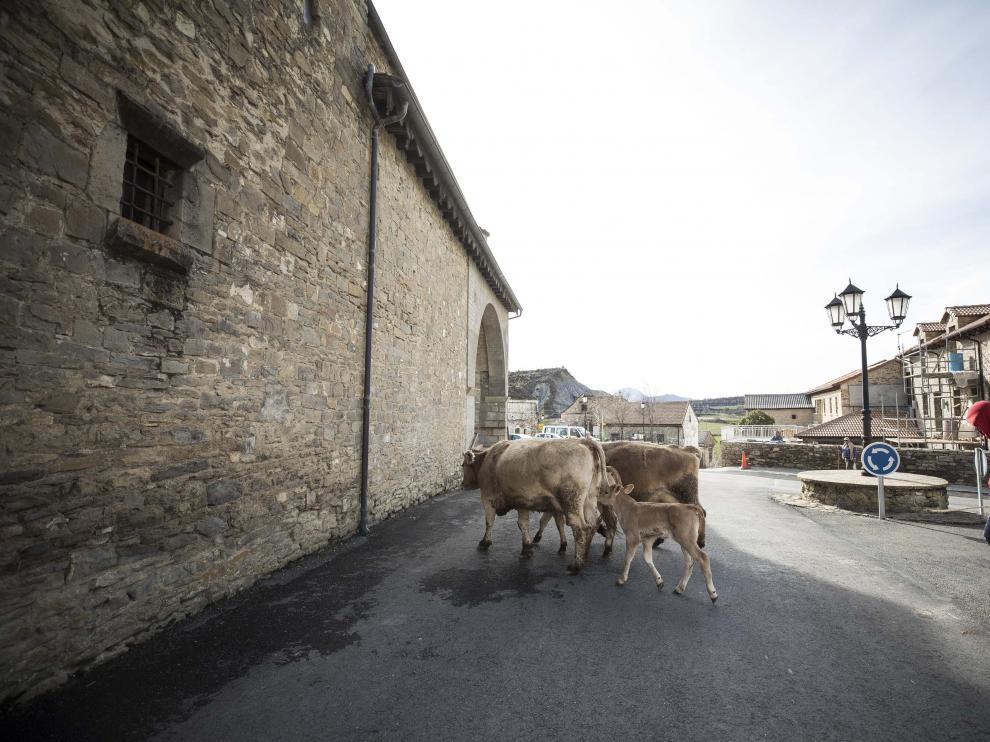 Conducción de ganado vacuno por el centro del pueblo, junto a la iglesia de San Lorenzo.