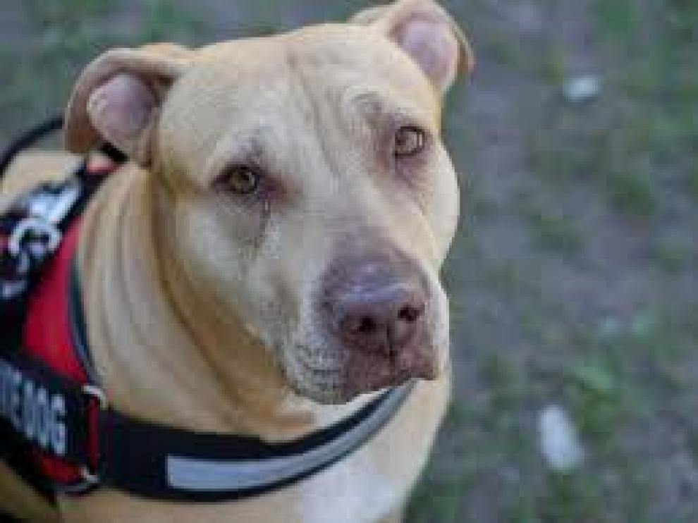 Los perros de raza pit bull están considerados como potencialmente peligrosos.
