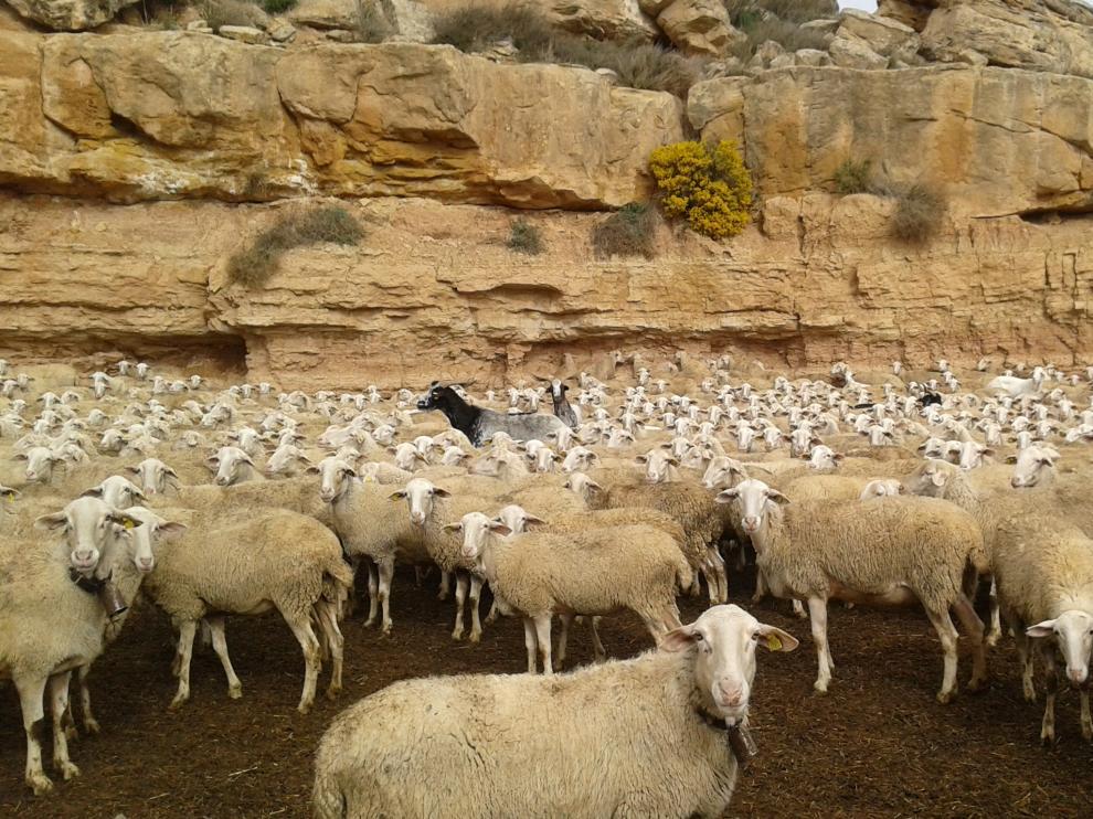 Ejemplares de ovino de un rebaño integrado en la cooperativa aragonesa Casa de Ganaderos, la empresa más antigua de España.