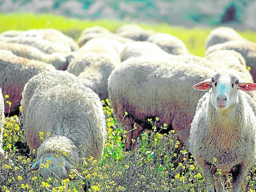 Ejemplares de ovino integrados en la Indicación Geográfica Protegida Ternasco de Aragón.