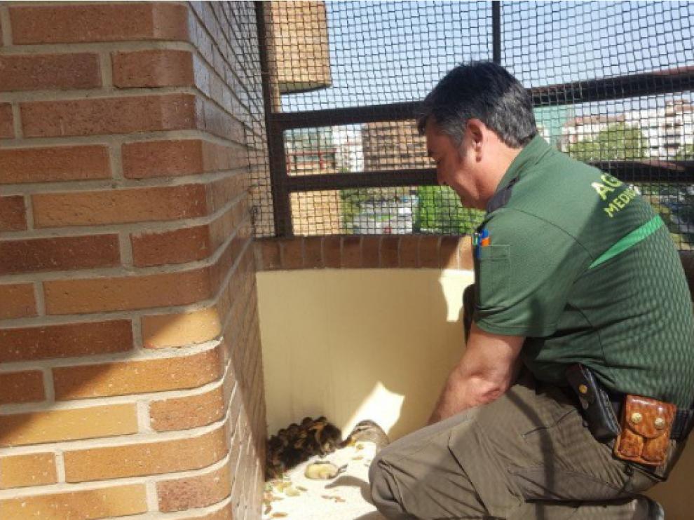 Agentes de Medio Ambiente del Ayuntamiento de Zaragoza rescatando a unos polluelos de ánade real en una terraza