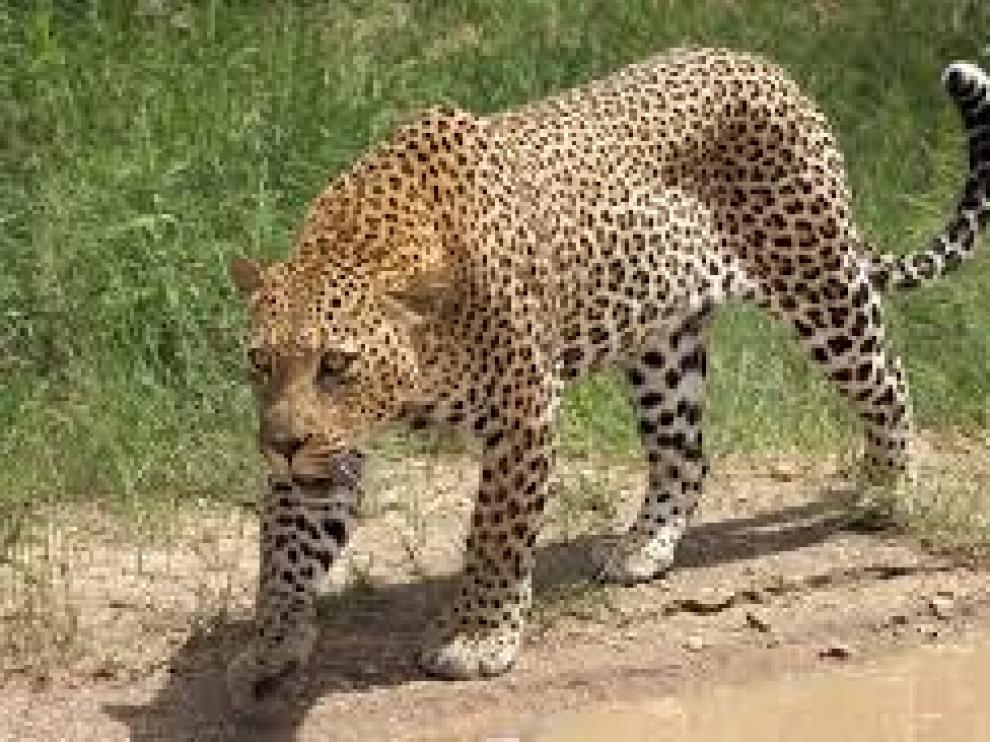 El leopardo capturó al menor en la cocina de su casa y huyó con él.