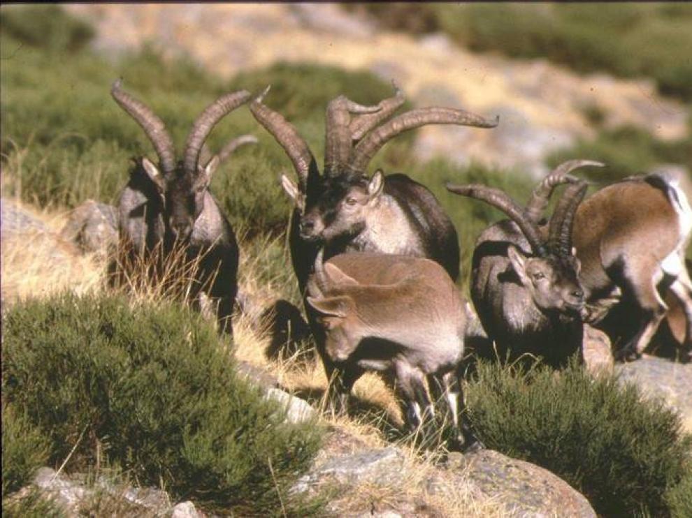Cabras hispánicas en los montes turolenses.
