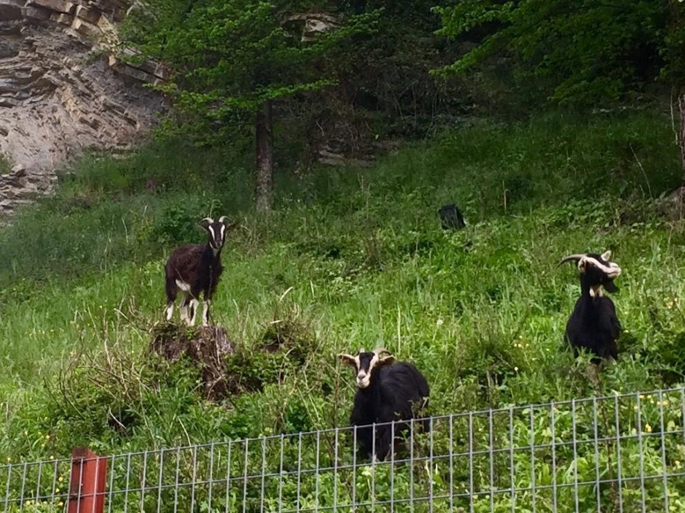 Las cabras de la ganadería de Ricardo Azón controlan la vegetación en Biescas.