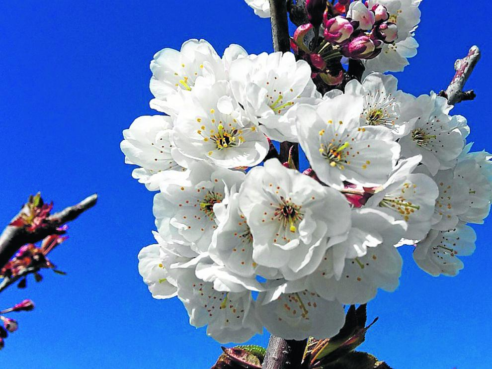 Los cerezos, en este caso en flor, son unos de los cultivos leñosos con gran importancia económica en la Comunidad.
