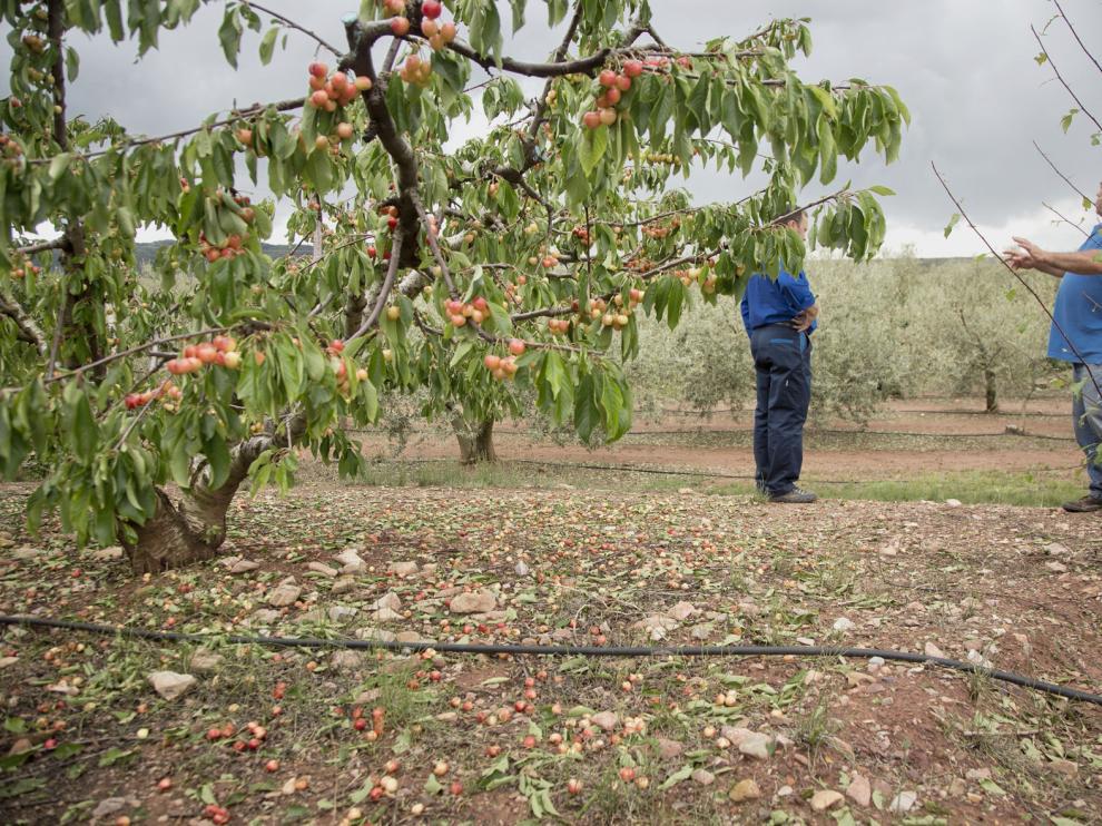El agricultor Jesús Romero muestra los daños en los cerezos, con mucha de la fruta por el suelo