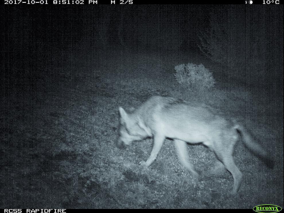 Una imagen del lobo localizado en la Ribagorza