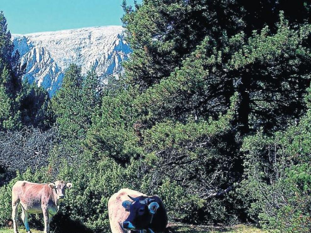 Vacas pastando en un prado del camino, con el Turbón al fondo.