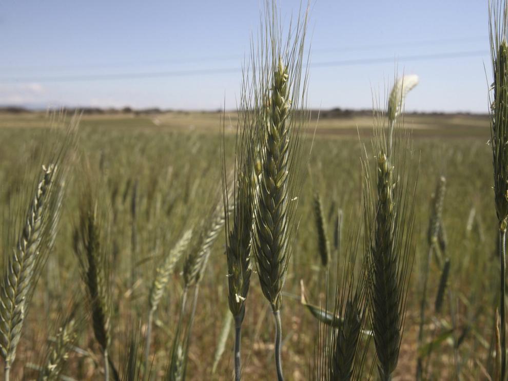 Campos de cereal aragoneses.