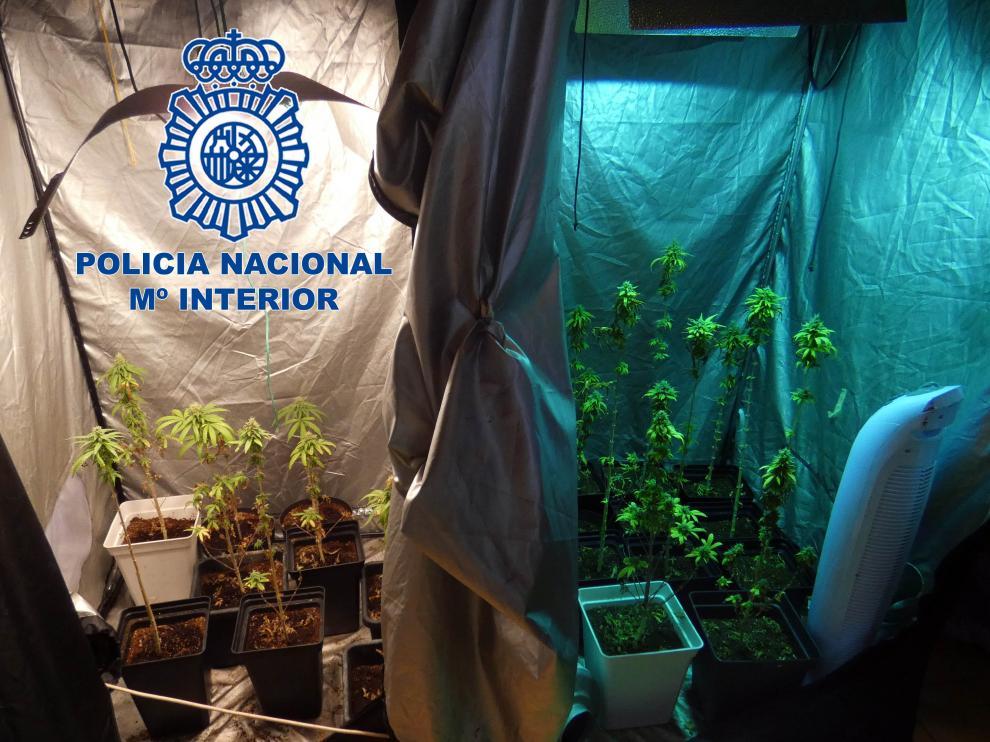 Imagen de las plantas de marihuana incautadas.