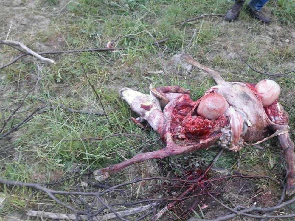 Oveja atacada por un oso en el valle de Castanesa