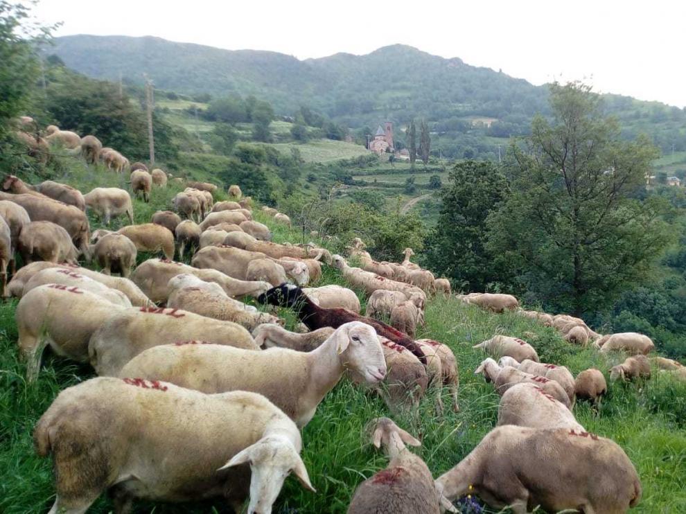 El oso atacó este rebaño cuando pastaba a pocos metros del pueblo de Castanesa (al fondo).