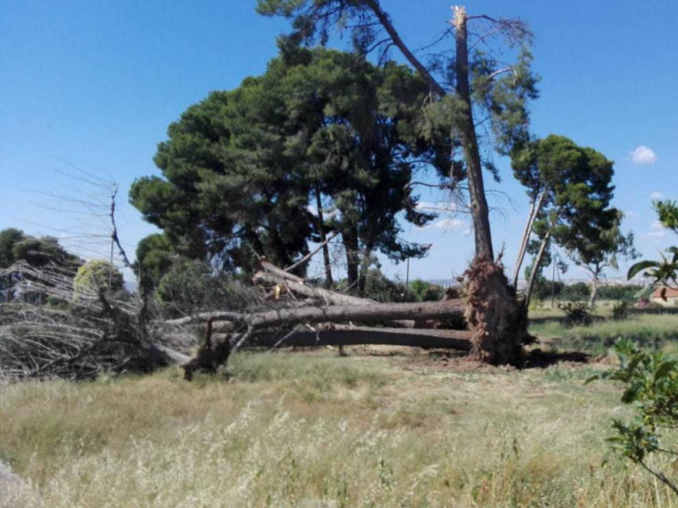 Uno de los ejemplares derribados este domingo en el barrio rural de Garraponillos.