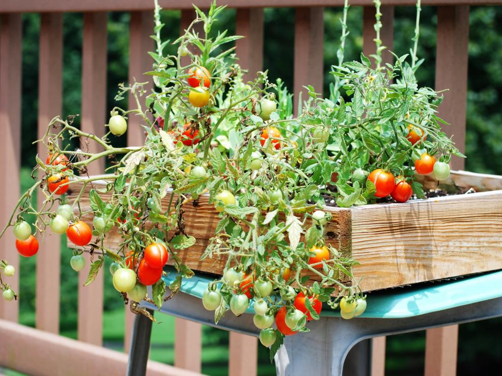 Cultivo Del Tomate Cuatro Trucos Para Un éxito Asegurado