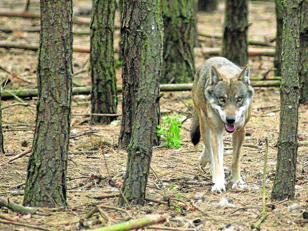 La presencia del lobo en Aragón, en especial en la comarca de Monegros, la confirman los ataques y los expertos del Departamento de Desarrollo Rural.