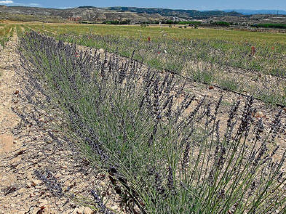 El cultivo del lavandín gana cada vez más adeptos en Aragón