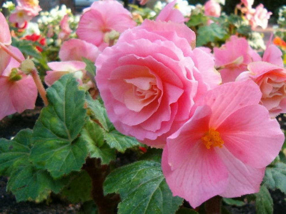 Imagen Begonia_x_tuberhybrida_1005Pink1
