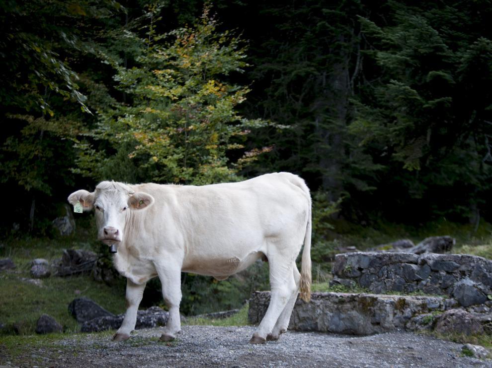 Imagen de archivo de una vaca en el valle de Hecho.