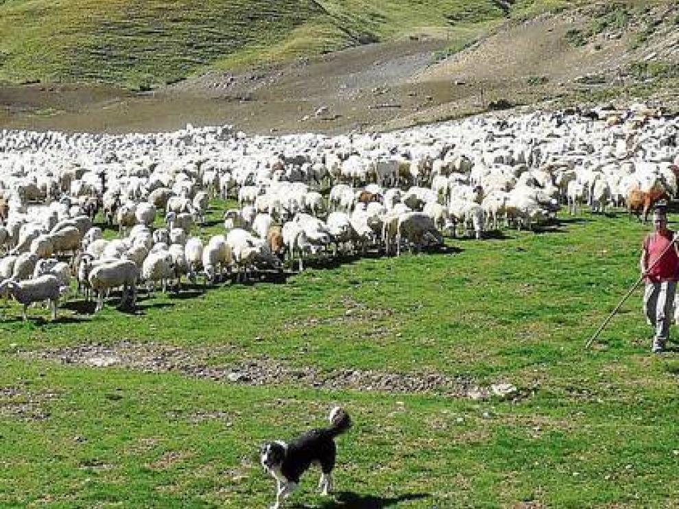 Un rebaño de ovejas trashumantes pastando en las praderas de Formigal.